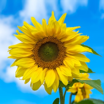 De bloeiende zonnebloem over blauwe hemel, sluit omhoog