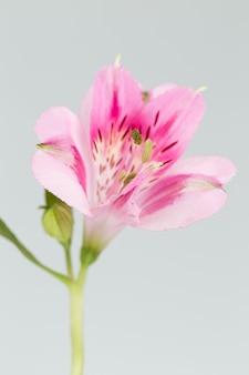 De bloem dichte omhooggaand van alstroemeria geïsoleerd in grijze oppervlakte