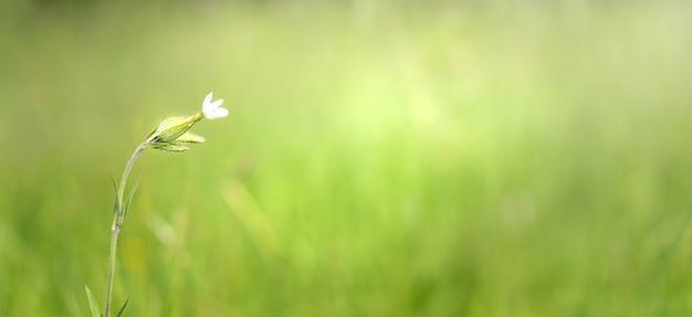 De bloem is een witte dromer op een groene weide