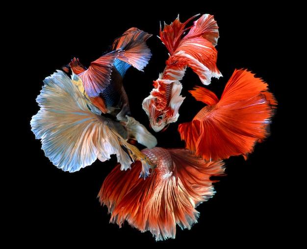 De bloem van betta's staartvinnen mengde zich