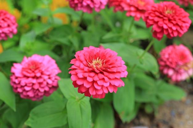 De bloem van close-up roze zinnia in de tuin.