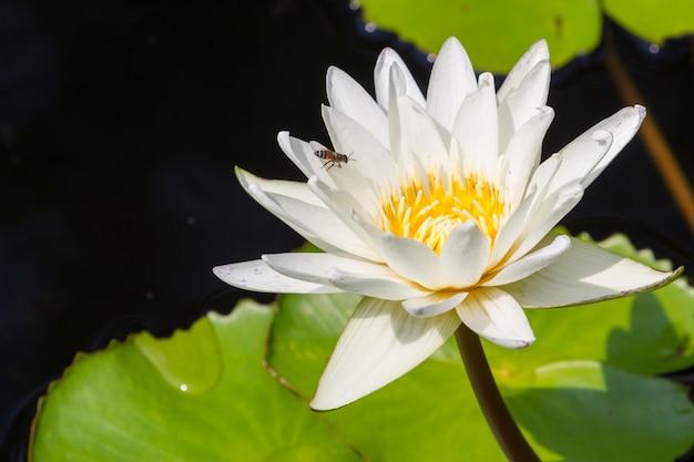 De bloem van close-uplotus, waterlelie