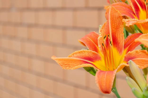 De bloem van de daglelie is bruingeel tegen gele bakstenen muur. hemerocallis fulva