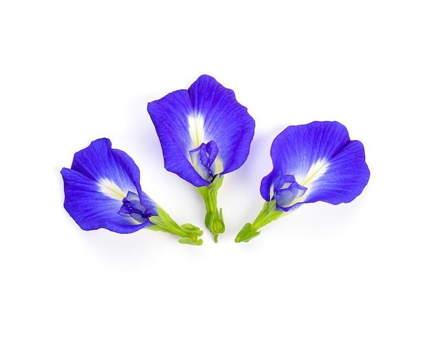 De bloem van de vlindererwt op witte achtergrond, ternatea van de clitoria