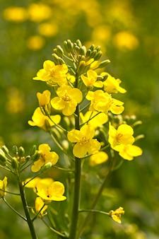 De bloem van een koolzaad gefotografeerd door een close-up. kleine scherptediepte