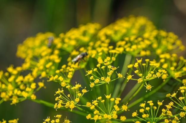 De bloem van groene dille (anethum graveolens) groeit op landbouwgebied.