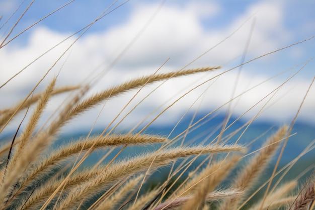 De bloem van het close-upgras in de wind en de blauwe hemel