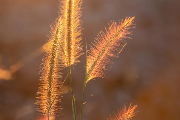 De bloem van het poaceaegras in de stralen van de toenemende zonsondergangachtergrond.