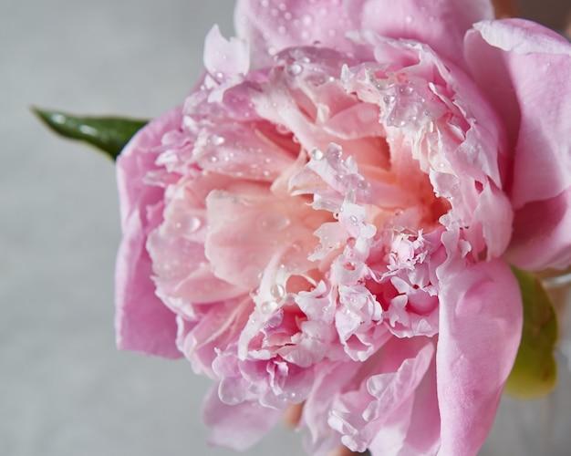 De bloem van roze pioen in bloei met waterdruppels en groen blad op een grijze stenen achtergrond, plaats voor tekst.