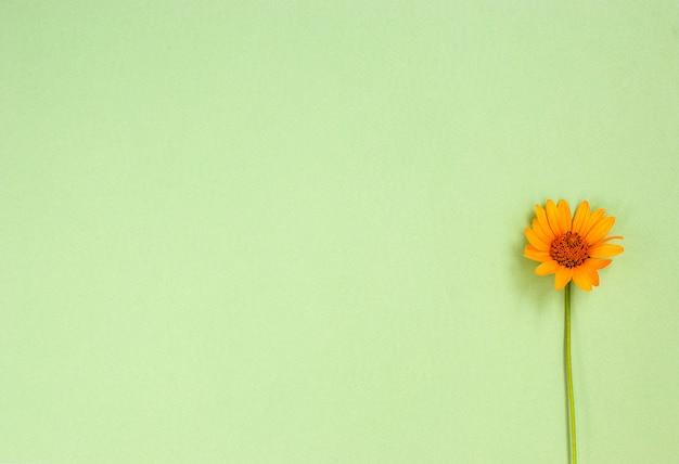 De bloem van zonnebloemheliopsis op een groene achtergrond.