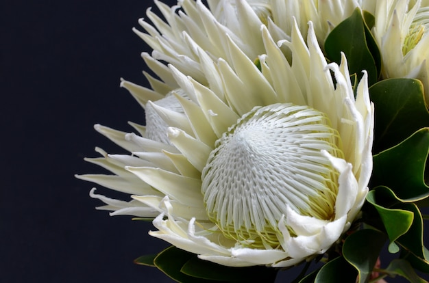 De bloembos van koningsprotea op een zwarte geïsoleerde achtergrond. detailopname. voor ontwerp. natuur.