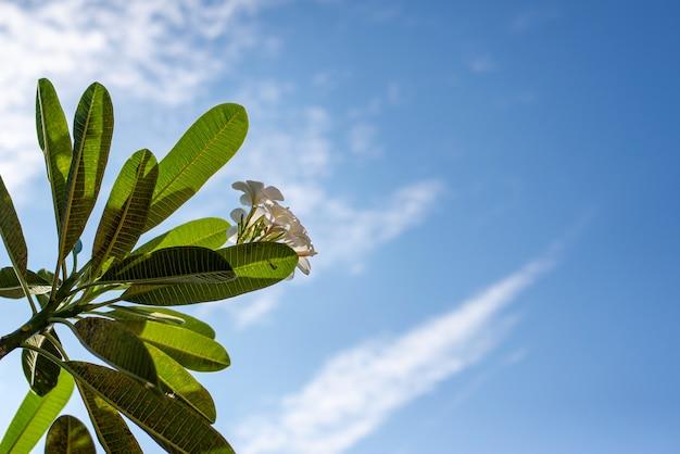 De bloemen en bladeren van de frangipaniboom en de hemelachtergrond