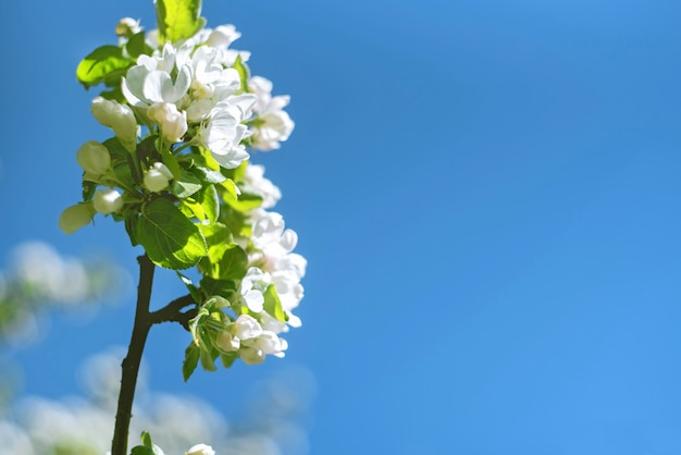 De bloemen van de kers komen op een de lentedag tot bloei op blauwe hemel.