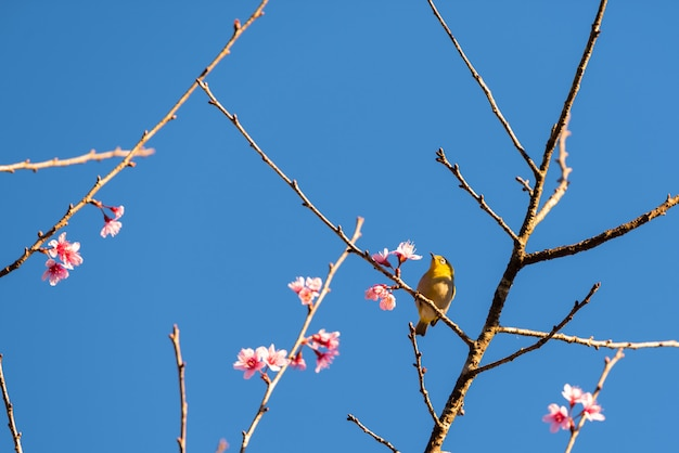 De bloemen van de kersenbloesem en gele vogel op boom met blauwe hemel