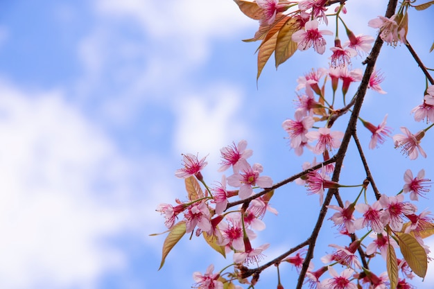 De bloemen van de kersenbloesem, sakurabloemen op hemel