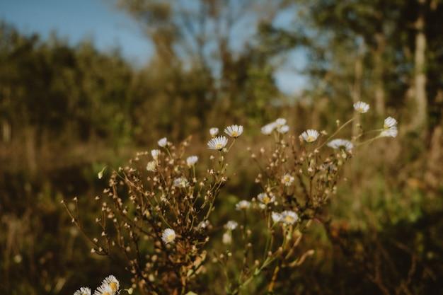 De bloemen van de matricariachomomilla op weide, selectieve nadruk