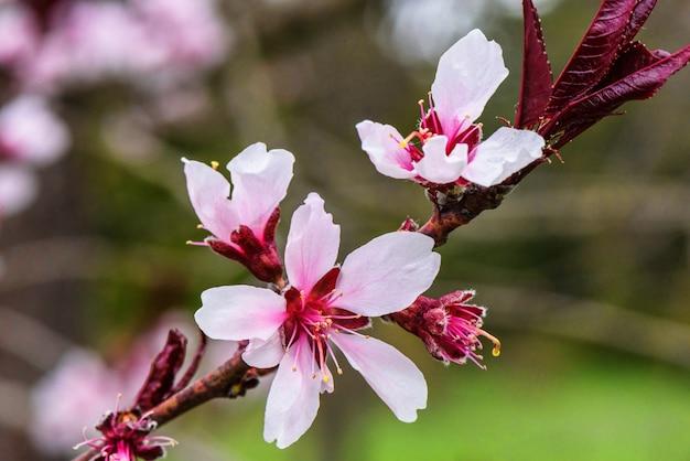 De bloemen van de roze boomboomgaard komen op een de lentedag tot bloei