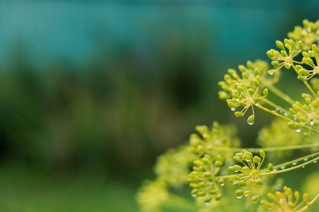 De bloemen van dillestruiken sluiten omhoog. kopieer ruimte
