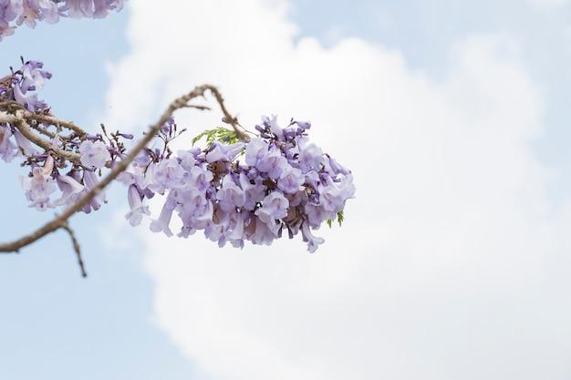 De bloemen van jacaranda zijn op blauwe hemelachtergrond