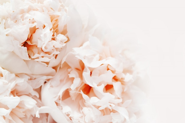 De bloemenachtergrond, sluit omhoog foto van delicatessepioenen. het leven koraal kleurde bloemrijke achtergrond met exemplaarruimte.