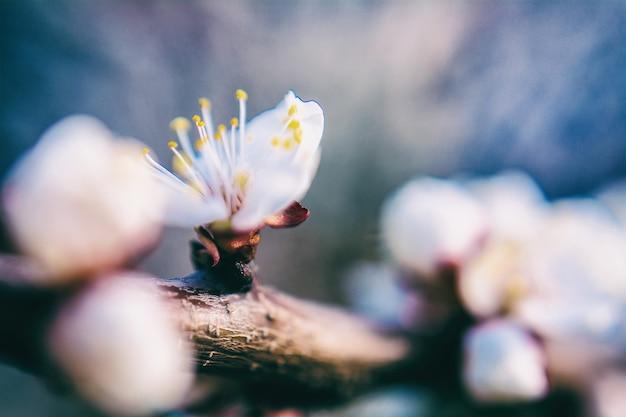 De bloemlente van de bloesemabrikoos
