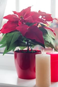 De bloempoinsettia van kerstmis met kleurenkaarsen in woonkamer, op de achtergrond van het lichtenvenster. natuurlijk afgezwakt