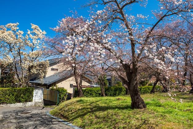 De bloesem van de de lentekers of de bloem van de sakuraboom bij park tegen blauwe hemel dichtbij japans dorpshuis in matsumoto, japan.