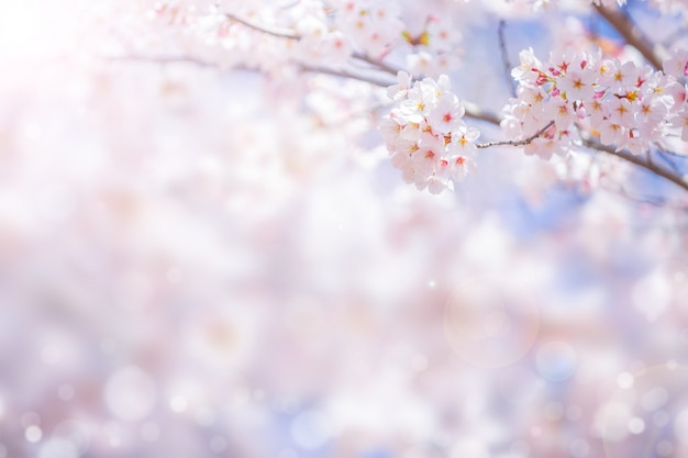 De bloesem van de kersenbloem in de lente voor achtergrond of exemplaarruimte voor tekst