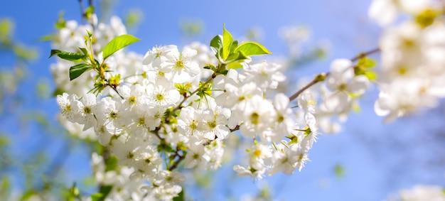 De bloesem van de kersenpruimboom. bloeiende boomtak op de zonnige lentedag. echte natuurlijke foto op de blauwe hemelachtergrond. lente concept.