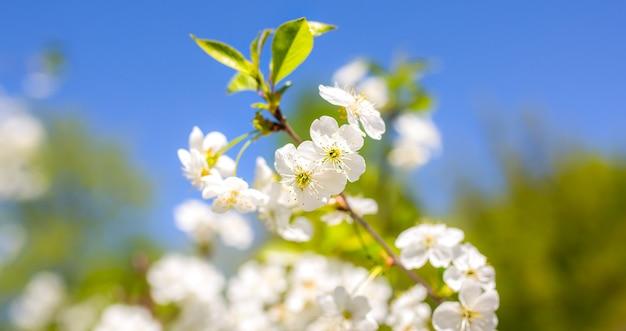 De bloesem van de kersenpruimboom. bloeiende boomtak op de zonnige lentedag. echte natuurlijke foto op de blauwe hemelachtergrond.