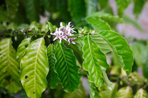 De bloesem van de koffieboom met kleurenbloem na regenachtig. robusta