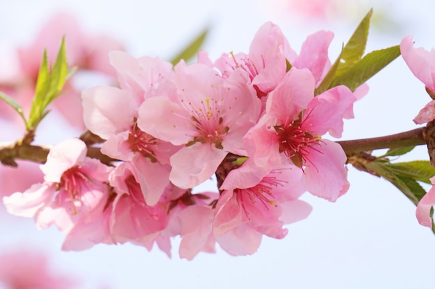 De bloesems van de close-upkers zijn bloeiend in helder zonlicht op de boom van de kersenbloesem. korea.