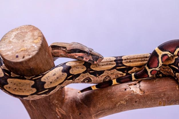 De boa constrictor (boa constrictor), ook wel de roodstaartboa of de gewone boa genoemd, is een soort grote, niet-giftige, zware slang die vaak in gevangenschap wordt gehouden en gefokt