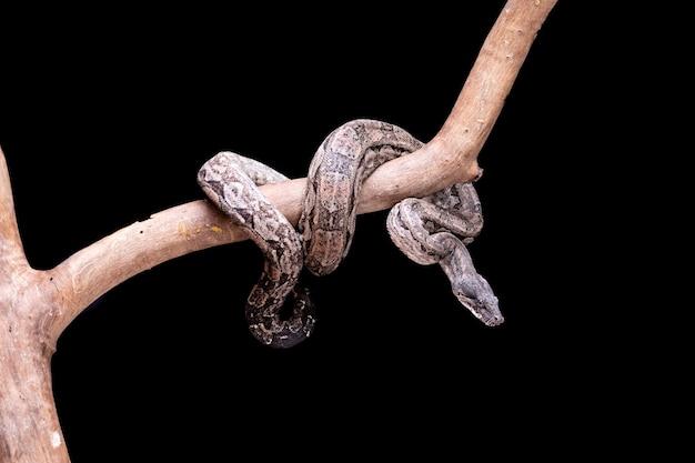 De boa constrictor is een vissenslang die een volwassen grootte kan bereiken van 2 meter (boa constrictor amarali) tot 4 meter (boa constrictor constrictor). in brazilië, waar is de op een na grootste slang.