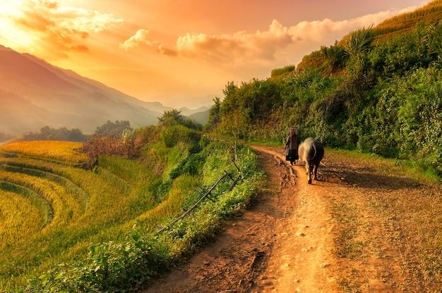 De boer en zijn buffel lopen op weg naar huis. temidden van de velden bij zonsondergang.