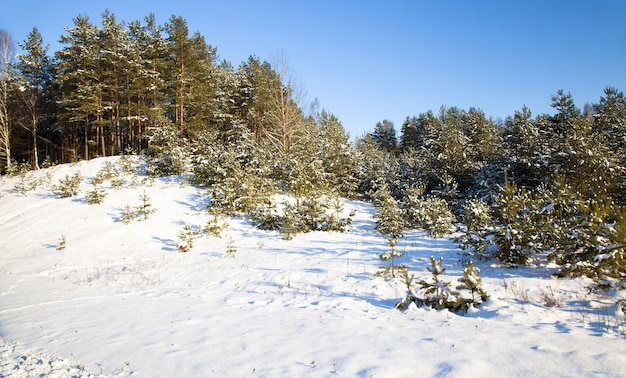 De bomen die in het winterseizoen in het bos groeien