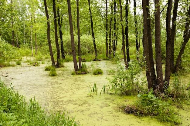 De bomen groeien op een moeras, bedekt met slijk. zomer