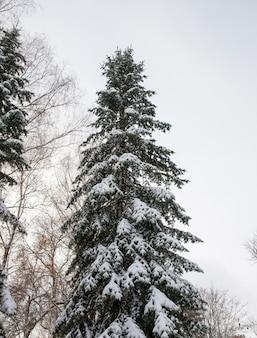 De bomen sparren in het winterseizoen. de takken en groene naalden bedekt met sneeuw na een sneeuwval. herfstseizoen.