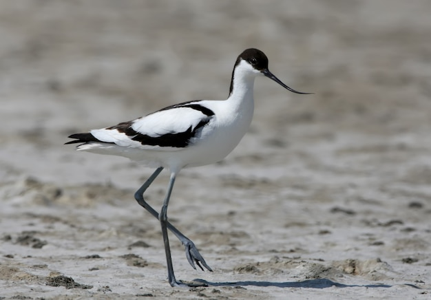 De bonte kluut (recurvirostra avosetta) staat op het zand