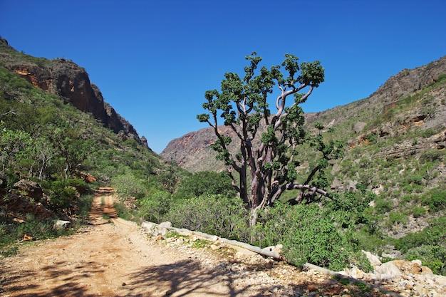 De boom in ayhaft canyon, socotra-eiland, indische oceaan, yemen