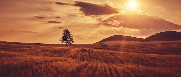 De boom staat in het veld. zonsondergang