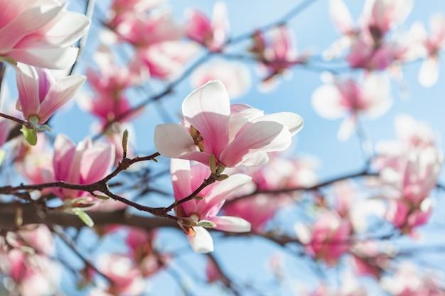 De boombloemen van de magnolia roze bloesem, sluiten omhoog tak, openlucht.