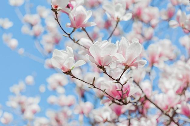 De boombloemen van de magnolia roze bloesem, sluiten omhoog tak