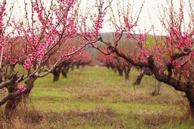 De boomgaard van perzikbomen bloeide in de lente