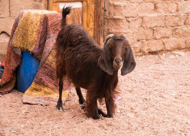De bruine met hangende oren van het nubische ras knielt in het zand bij de muur en een blauwe bus bedekt met oosters tapijt