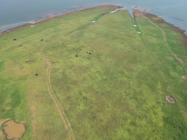 De buffel in de groene grasvelden langs de rivier op het platteland.