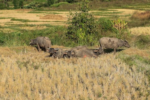 De buffels liggen in het veld.