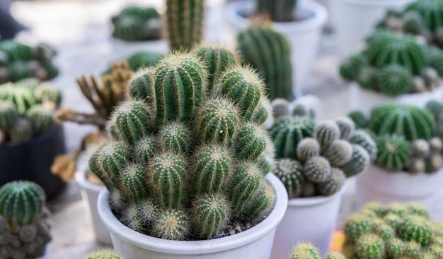 De cactus groene bladeren van de close-up in potten voor huis het tuinieren