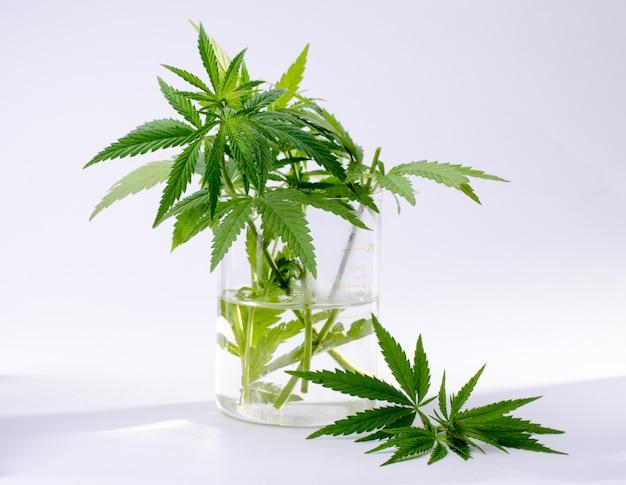 De cannabis plant bladeren in de laboratoriumfles die op wit wordt geïsoleerd