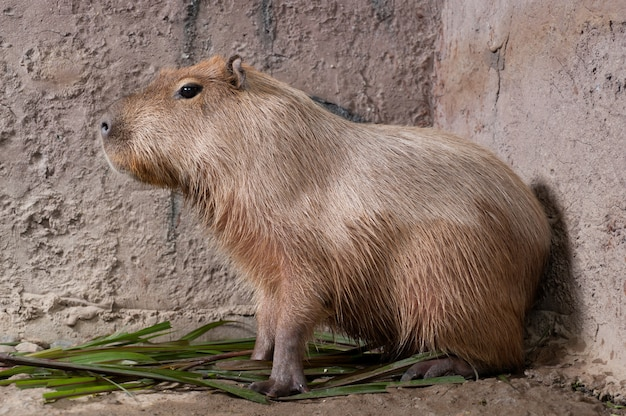 De capibara (hydrochoerus hydrochaeris), het grootste levende knaagdier ter wereld.